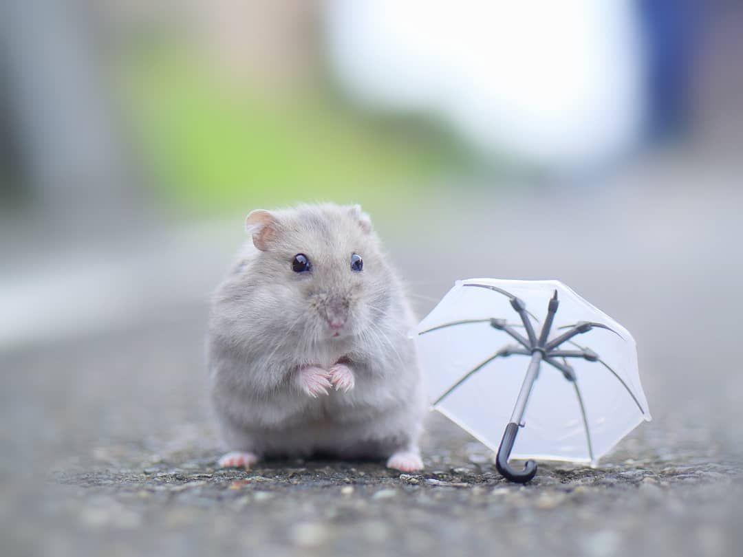 S Ogw01 On Instagram 雨ふりくまの子 今日も元気なマーチくん 童謡に出てくる子熊のイメージで撮りました ジャンガリアン ハムスター Hamster Hammy Pe Cute Hamsters Cute Baby Animals Cute Little Animals