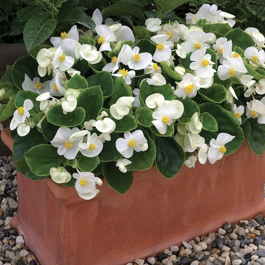 Bada Bing White Begonia In 2020 Begonia Annual Plants Plants