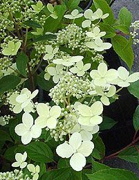 Hydrangea Paniculata 'Mustila'. it has such delicate flowers, more so than other hydrangeas, i think.