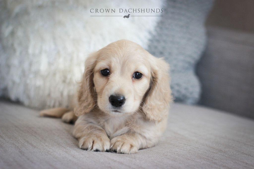 Crown Dachshunds Colton Ca Weiner Dog Puppies Sausage Dog
