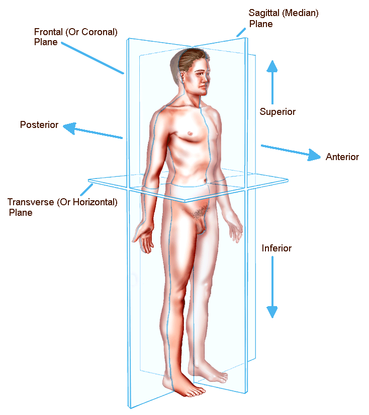 Planes Of The Human Body | The Anatomical Position, Directions, and ...