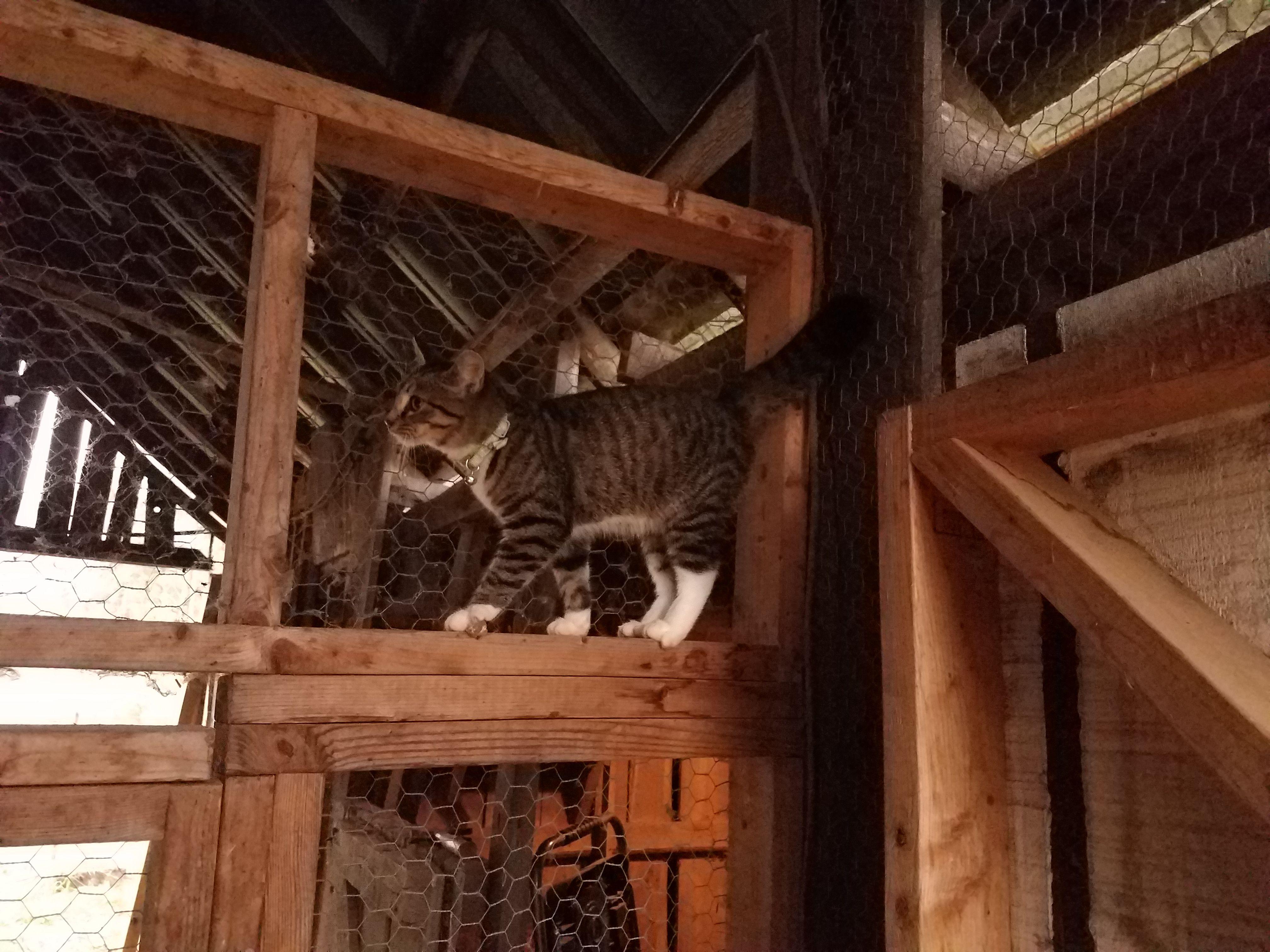 Barn Cat Balance Walking Across Stall Divider