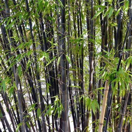 Bambou Noir Phyllostachys Nigra Maison Japonnaises