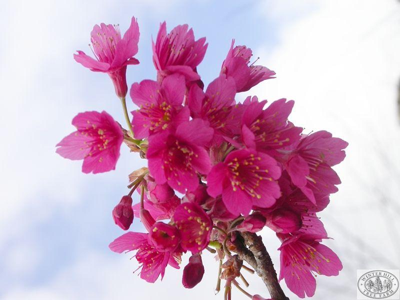 Formosan Cherry — Prunus campanulata. I want this in my garden!