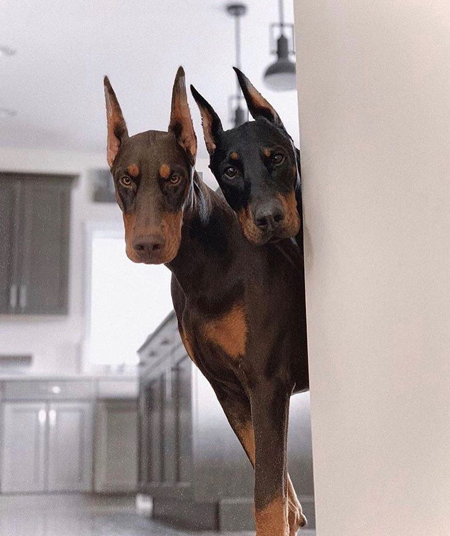Follow Me For More Poppin Pins Uel Ibekwe Doberman Dogs Doberman Puppy Dogs