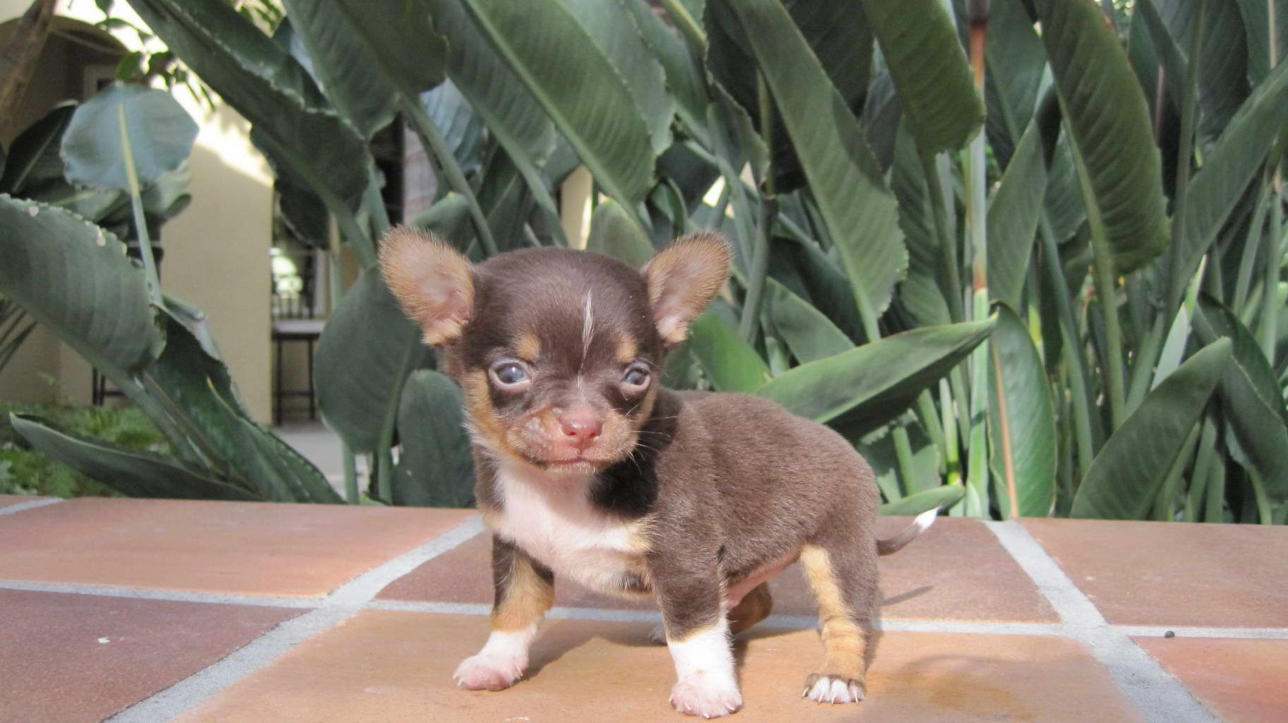Chihuahua Breeders Massachusetts Chihuahua Puppies For Sale