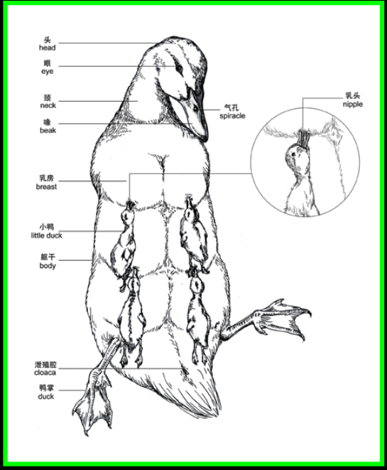 Redesign of Reproductive System for Non-mammals: Duck | SURG ...