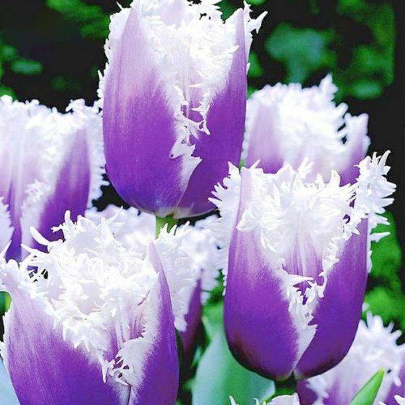 50pcs//Bag Tulip Seeds Bonsai Perennial Flower Seeds Home Garden Plants FLTO