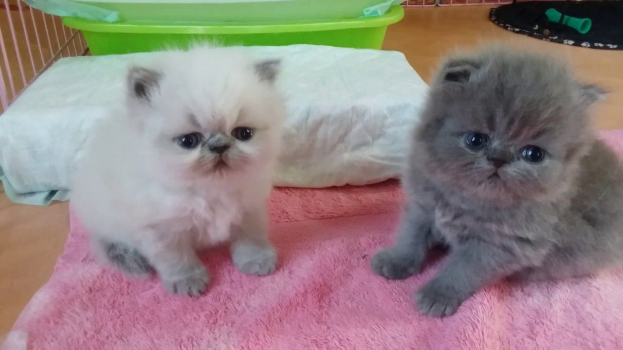 Pin On Baby Cute White Persian Cat