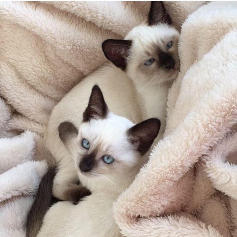 Siamese Cats 5 Facts About Them That You Need To Know Before