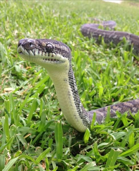 Looking For A Slithery Snake This Is Yani A Domesticated Carpetpython Searching For Her New Home If You Are A Python Love Animals Animal Rescue Adoption