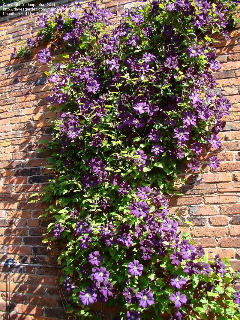 clematis 39 etoile violette 39 clematis viticella planting. Black Bedroom Furniture Sets. Home Design Ideas