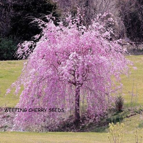 20 Seeds Japanese Ornamental Weeping Cherry Tree Starting At 1 Trees To Plant Weeping Cherry Tree Flowering Trees