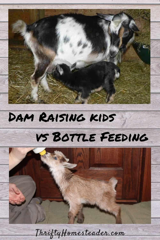Dam Raised Vs The Bottle Socialization The Thrifty Homesteader In 2020 Breeding Goats Goats Goat Kidding