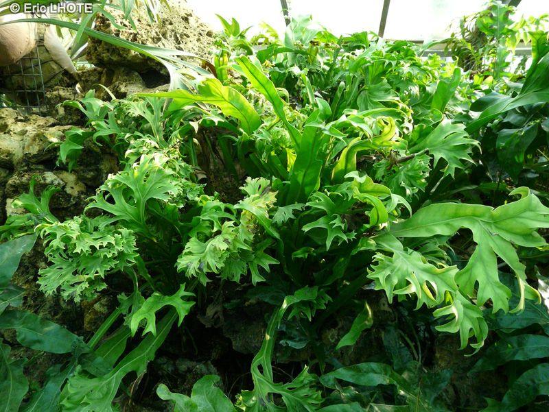4f5e2ad73dd18d9a48b4049e79dc6247 Polypodiaceae House Plant on peperomia house plant, fern house plant, monstera deliciosa house plant, spanish moss house plant, philodendron house plant,