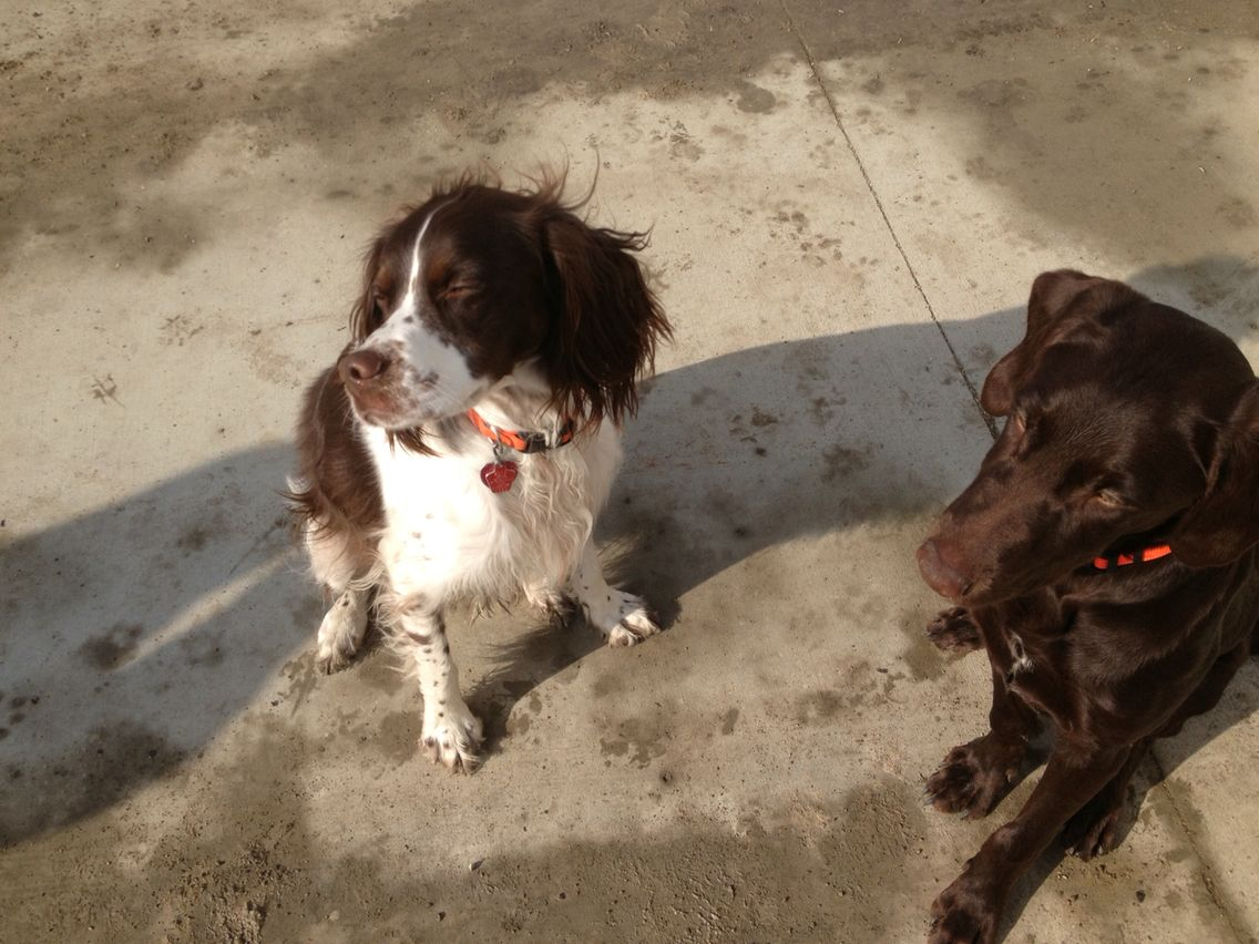 Summer Loving Brittany Spaniel And Chocolate Lab Chocolate Lab Brittany Spaniel Puppies