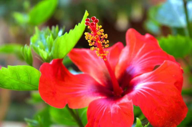 The Hibiscus Flower Reviving Its Purpose In Landscape Horticulture Fragrant Flowers Hibiscus Flowers Gumamela