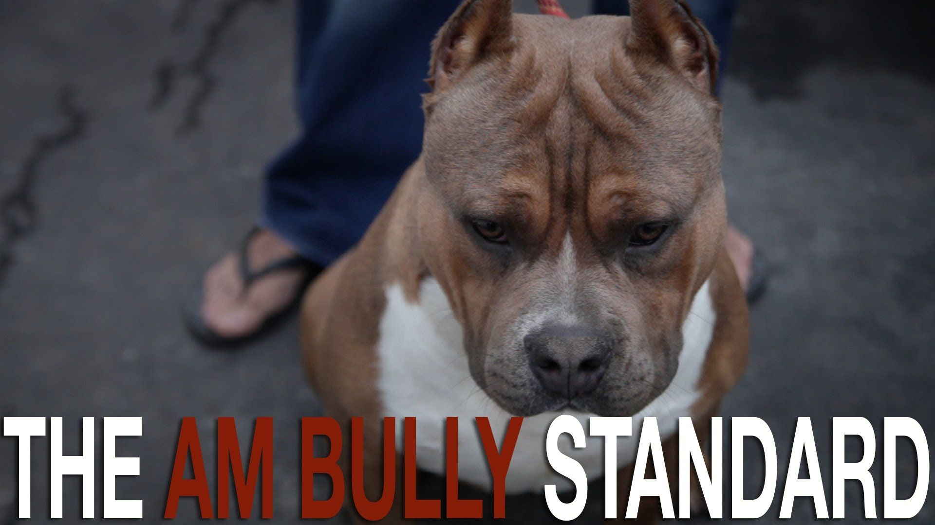 The American Bully Breed Standard Bully Dog Bullying Dogs