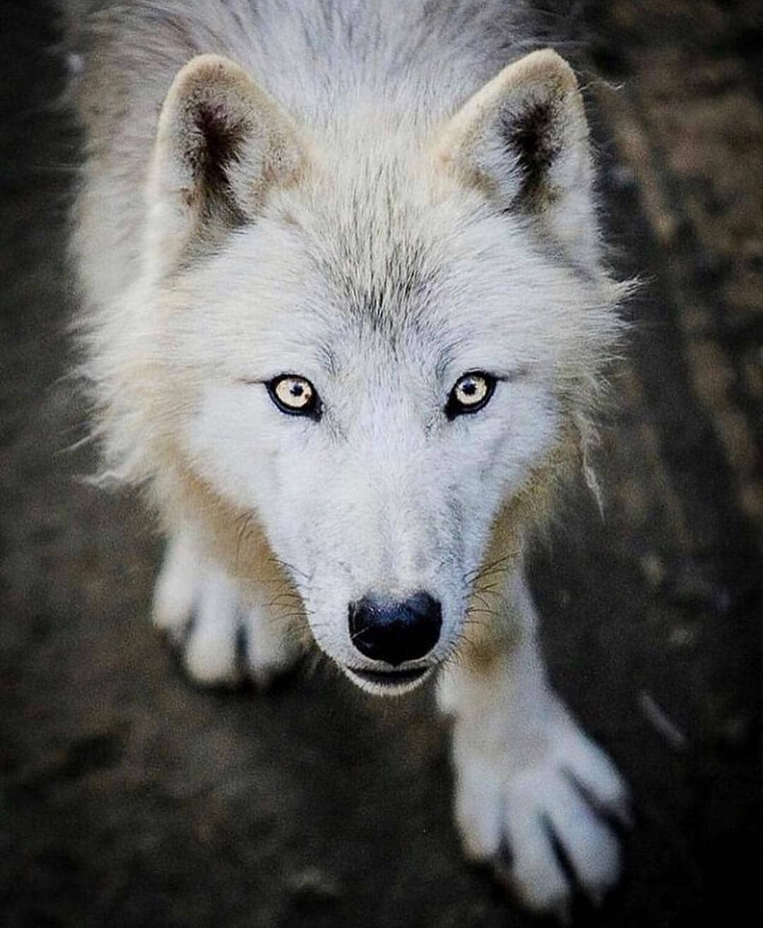 Olf the best animal rate follow wolfloversclubs