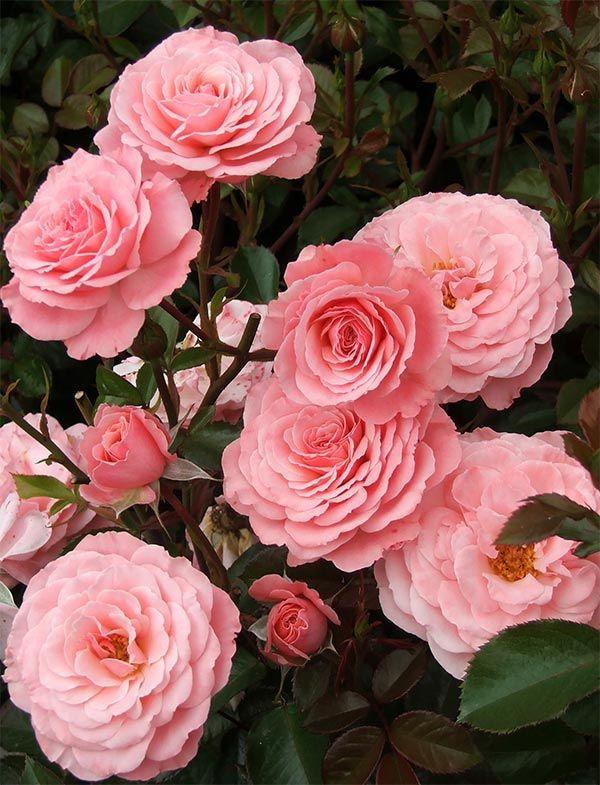 La Rose L Amour L Amour Pinterest Rosier Fleur Jardin And Rose