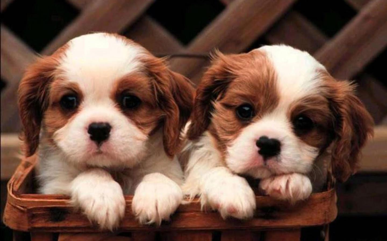 Pin By David Rubin On Dogs Cavalier Puppy Cute Puppies Cute
