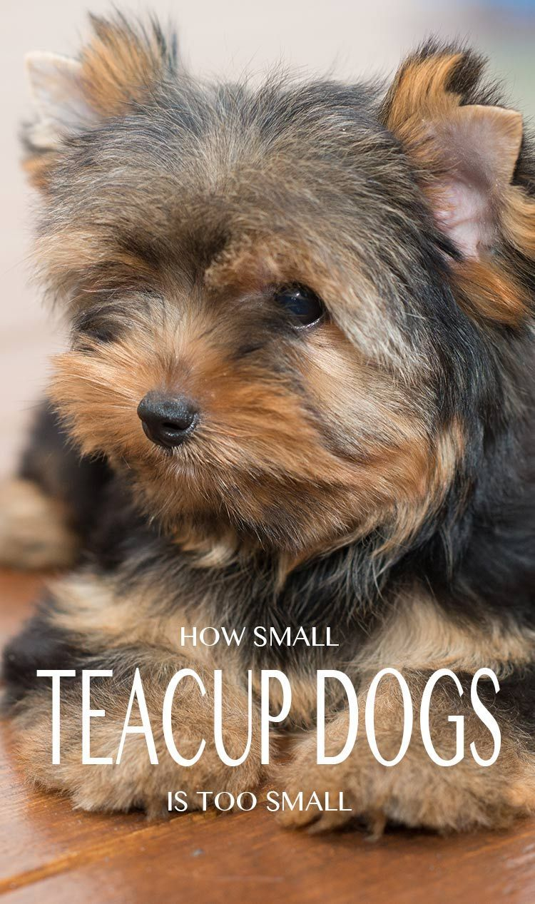 Mini yorkshire terrier toy yorkie price teacup yorkie