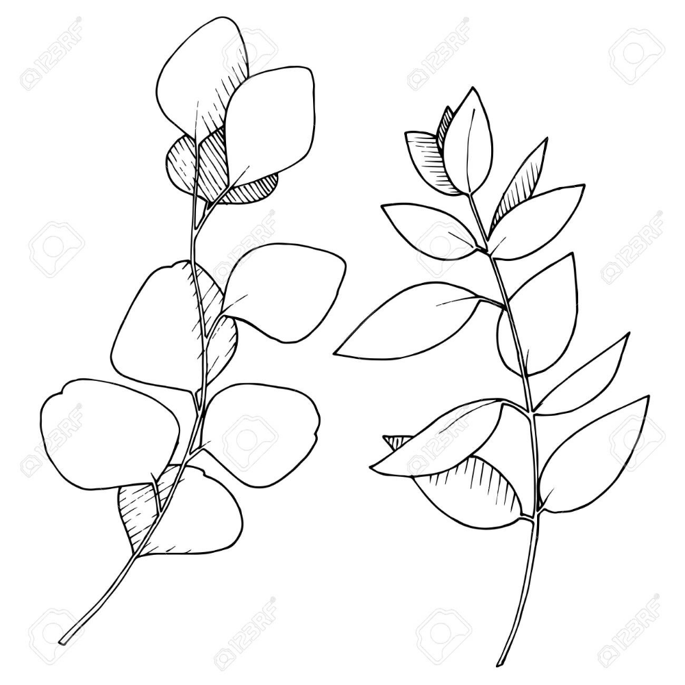 Vector Eucalyptus Leaves Branch Black And White Engraved Ink Art Isolated Branches Illustration Element Stock Vector 134 Ink Art Leaf Drawing Illustration