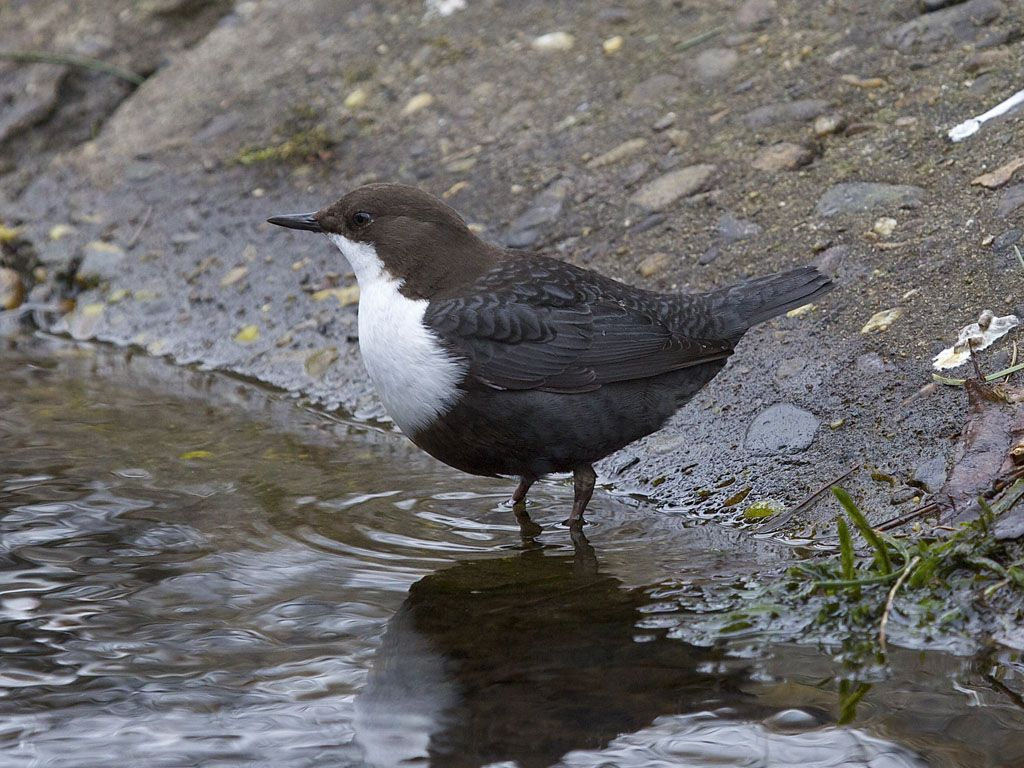 NORWAY: white-throated dipper (Cinclus cinclus), also known as the European dipper or just dipper, is an aquatic passerine bird found in Europe, Middle East, Central Asia and the Indian Subcontinent.
