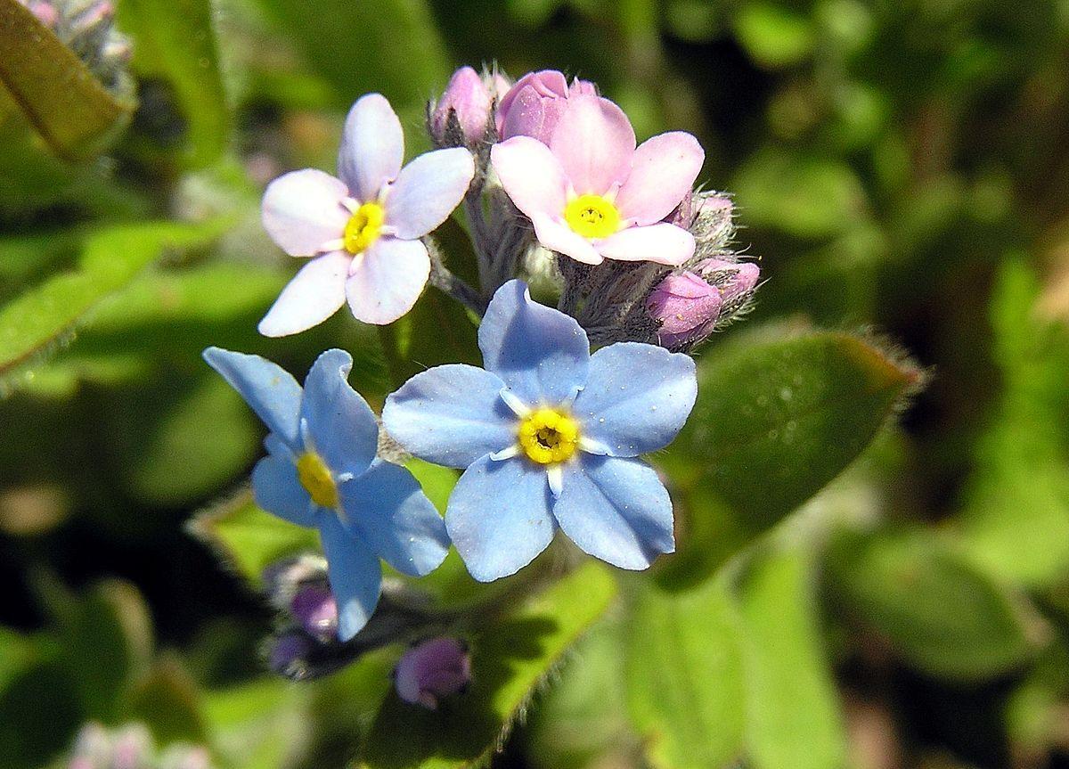 Myosotis Wikipedia Alaska State Flowr