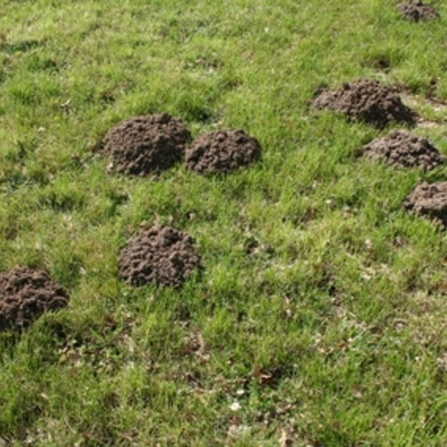 How to get rid of moles in the suburban area. Tips for the gardener