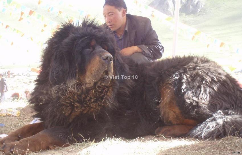 top 10 loài chó nguy hiểm nhất thế giới - việt top 10 - việt top 10 net - viettop10