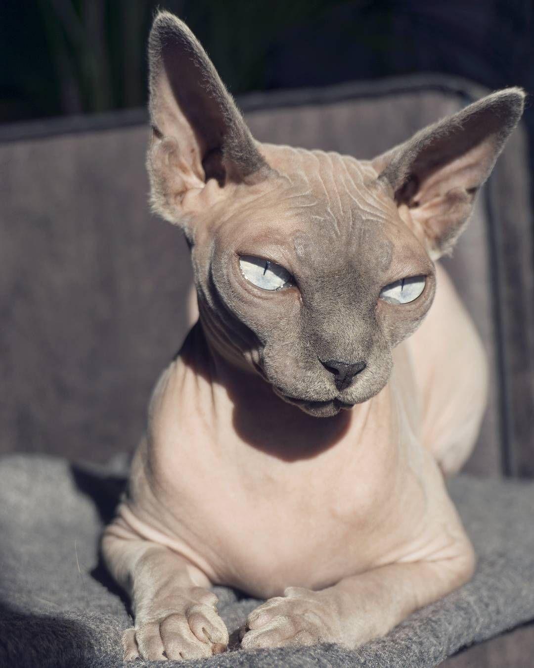 219 Vind Ik Leuks 10 Reacties Odessa Amp Azizi Sphynx Cats Odessaandazizi Op Instagram 39 Sunbaething Hairless Cat Sphynx Sphynx Cat Hairless Cat