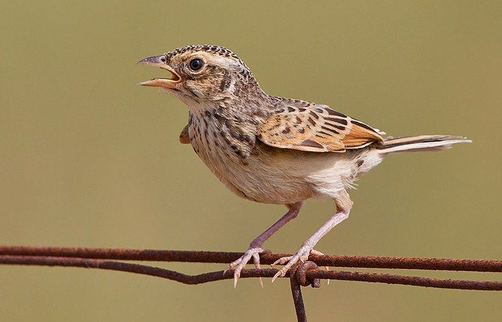 Daftar Harga Burung Branjangan Terbaru November 2015 Situsburung Com Burung Hewan Gambar