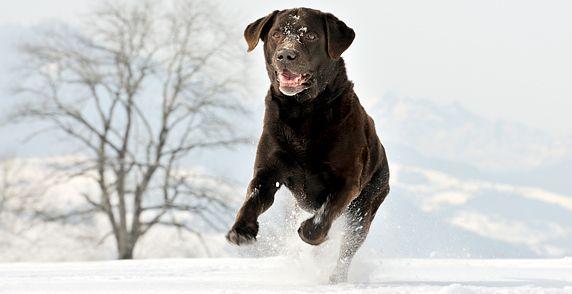 Protecting Your Dog's Paws Labrador retriever, Dogs
