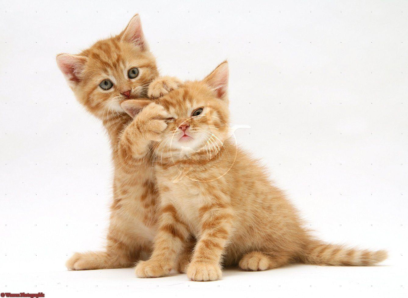 Ginger kittens Kitties 3