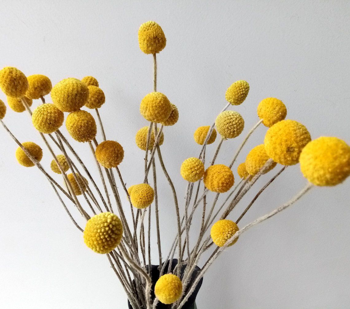 Dried Real Natural Craspedia Flowersbilly Button Etsy Billy Buttons Billy Balls Silk Flower Arrangements