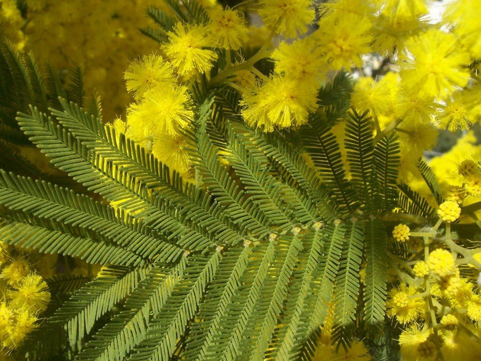 Base Formula Mimosa Essential Oil Is Astringent And Antiseptic And Nourishing For The Skin Particularly For Oily Y How To Attract Birds Acacia Yellow Flowers