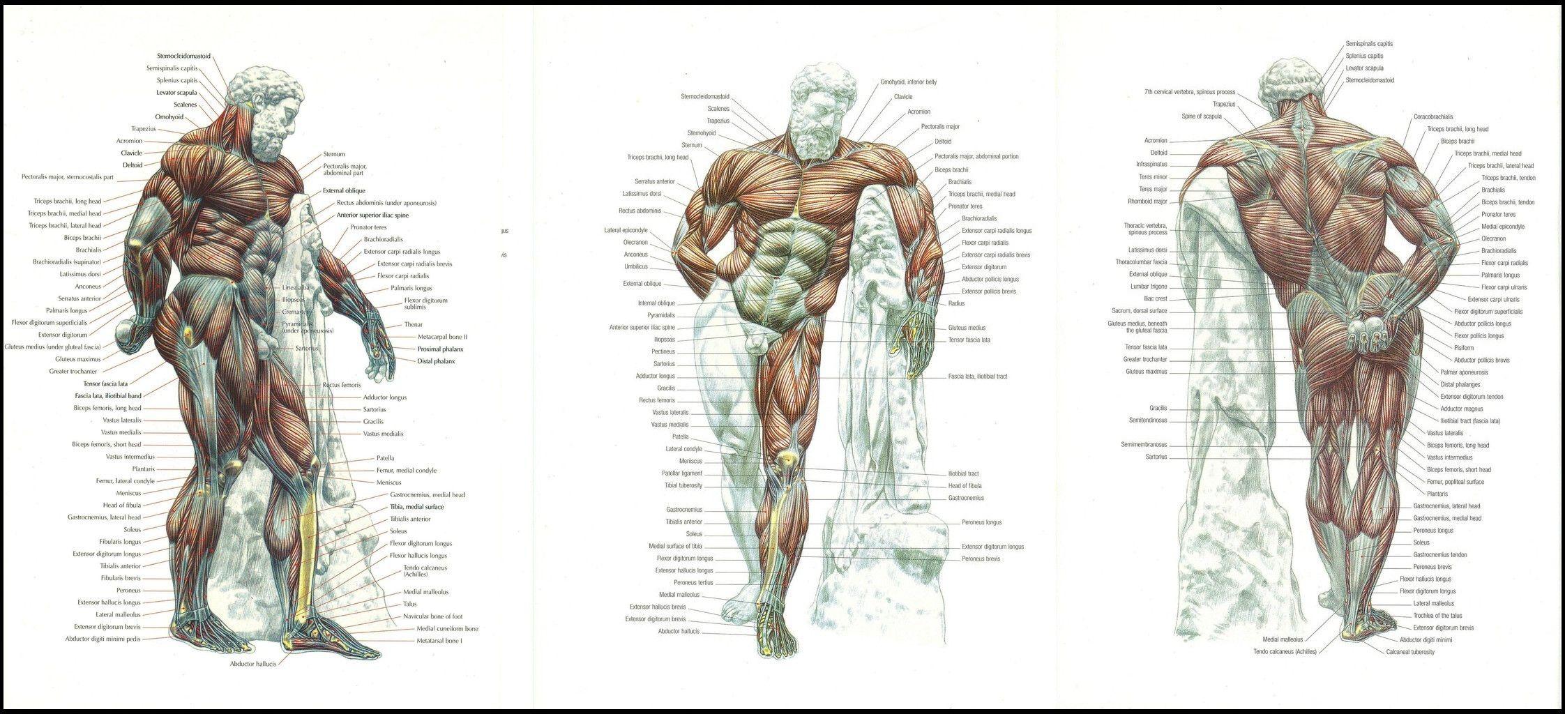 farnese hercules anatomy - Google Search | Fitness | Pinterest