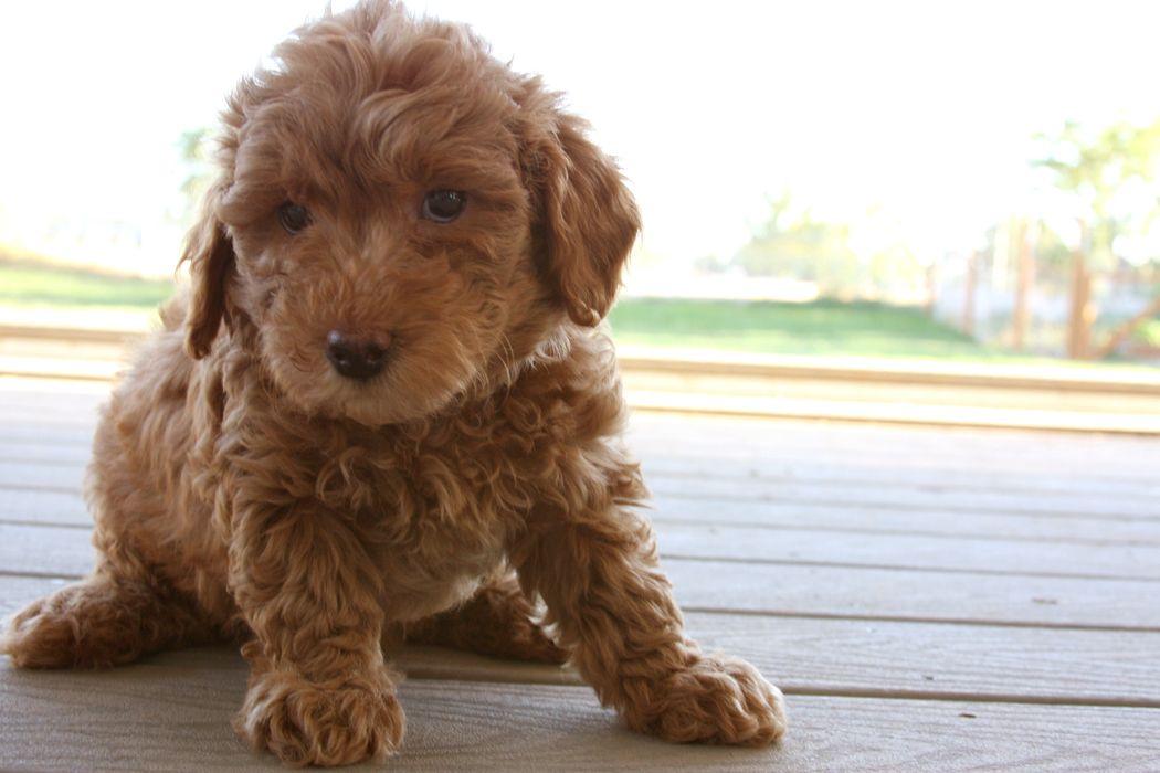 F2b mini goldendoodle puppies for sale in michigan - anouninun
