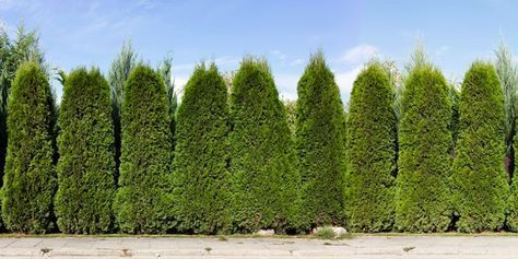 Green Giant Thuja Arborvitae Lined Up in a Row as Privacy ...