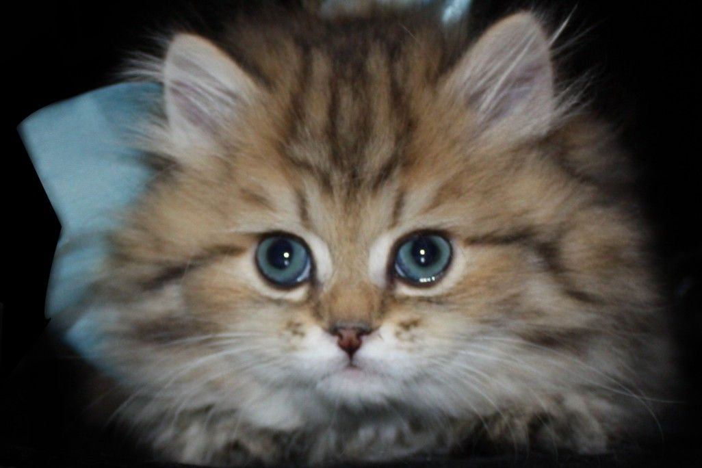 Teacup Persian kittens for sale | Himalayan Kittens for ... |Baby Doll Face Kittens