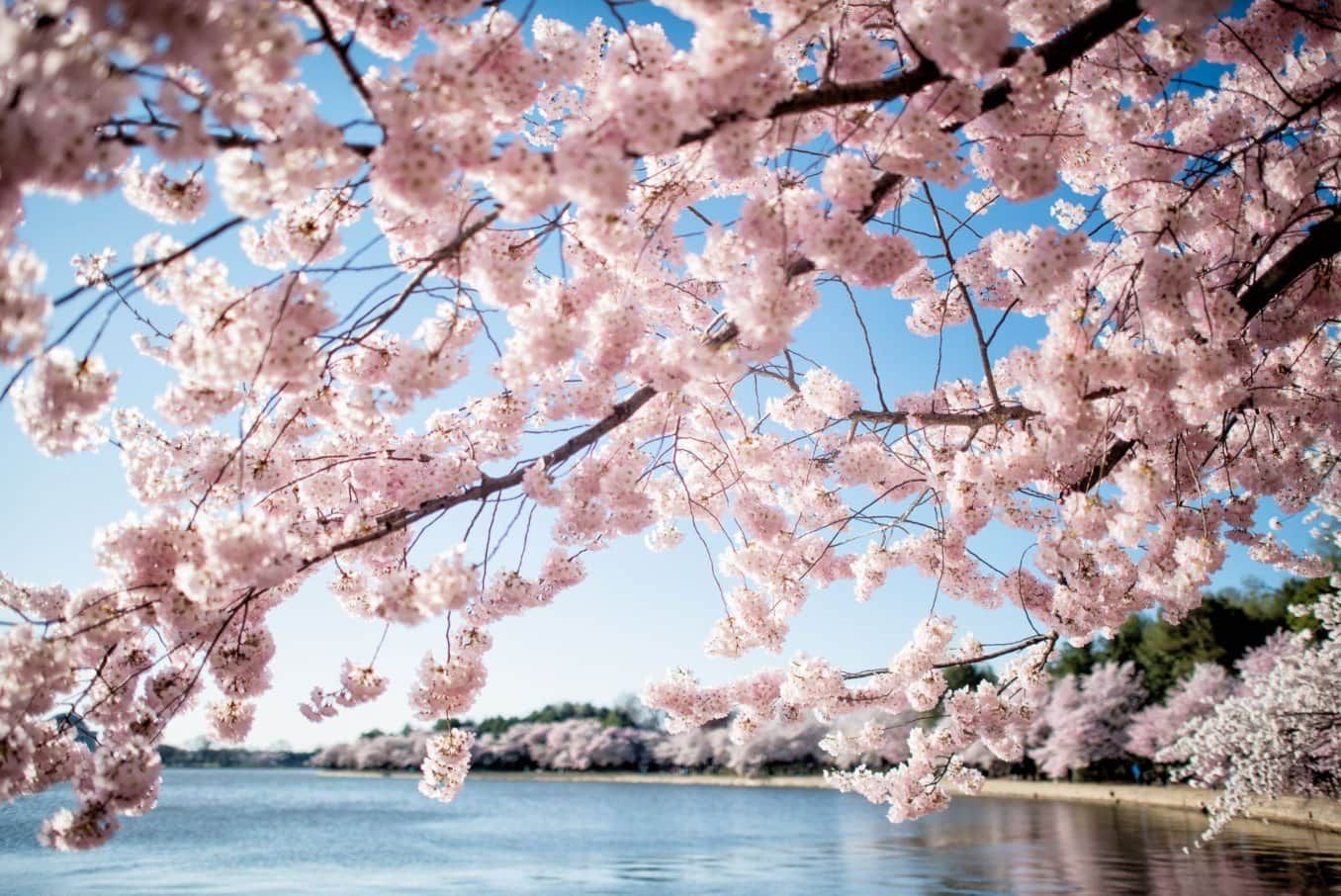 Washington Dc Cherry Blossoms April 1 2019 In 2020 Cherry Blossom Washington Dc Cherry Blossom Dc Blossom Trees