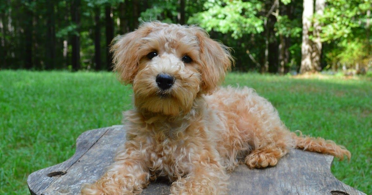 A Blog About Our Apricot Schnoodles For Sale In Virginia We Breed