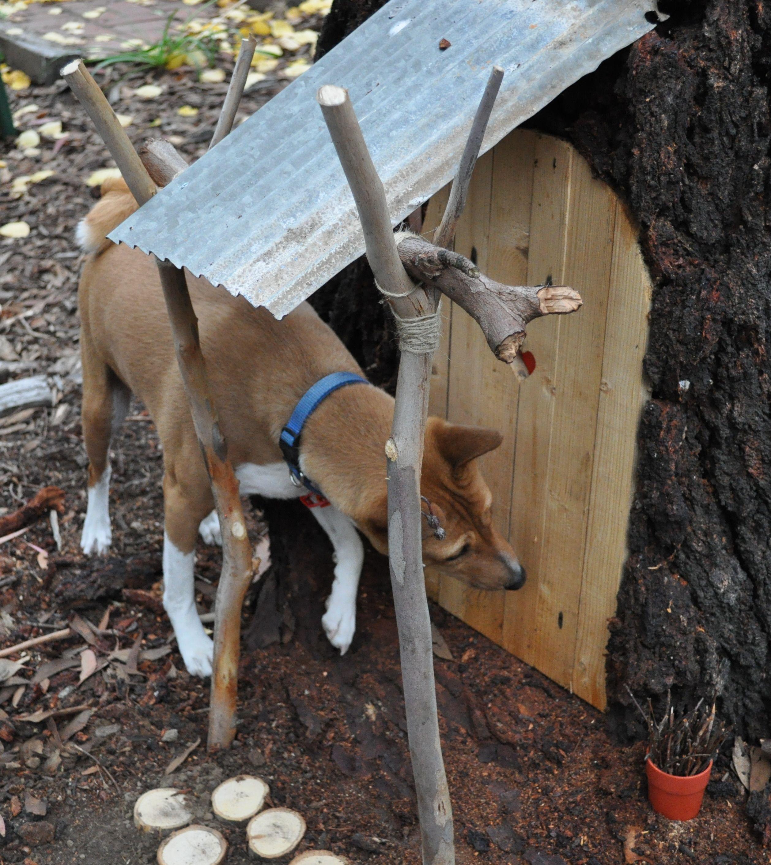 Nelson the Basenji, fairy hunting. Basenji dogs, Dogs of