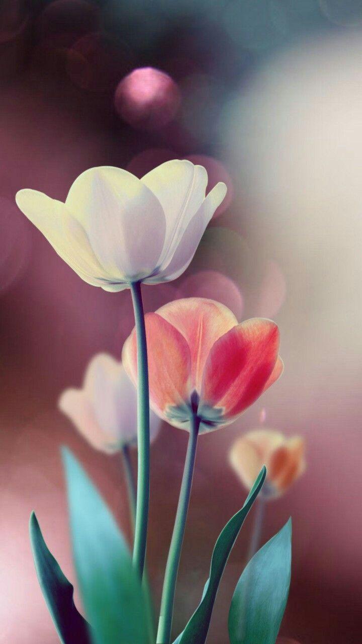 Pin De Shesnarda Sutuek En Wallpapers Fondos De Pantalla De Primavera Fondos De Pantalla Tulipanes Fondos De Pantalla Flores