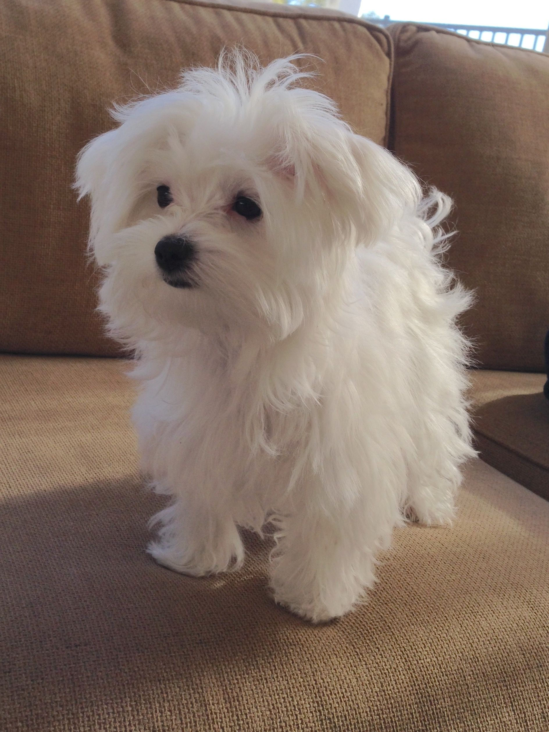 Maltese Coconut At 5 Months Maltese Puppy Puppies Cute Dogs