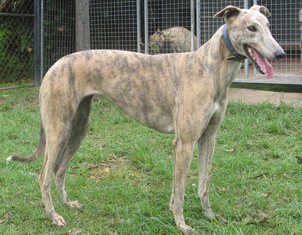 image result for greyhound fawn brindle doggies