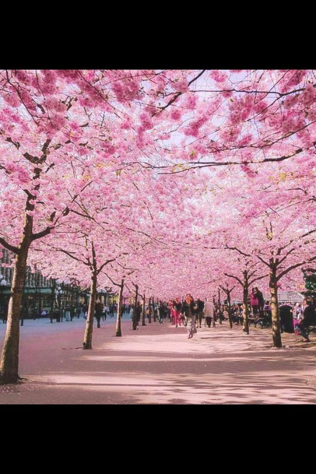 Cherry Blossom Trees Beautiful Nature Beautiful Tree Beautiful Places