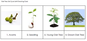 Free Oak Tree Life Cycle Sequencing Cards Tree Life Cycle Sequencing Cards Tree Study