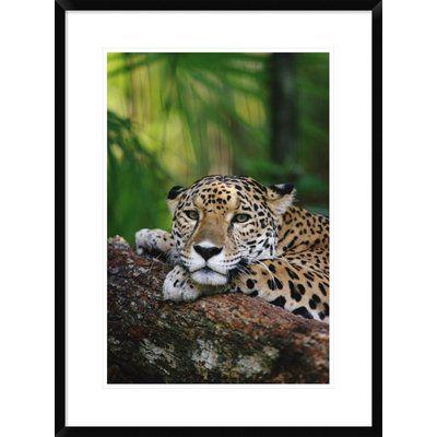 Global Gallery 'Jaguar Portrait' Framed Photographic Print Size: